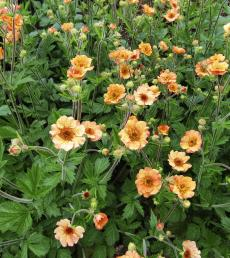 Nellikerod, Geum 'Totally Tangerine'. Foto: Flickr