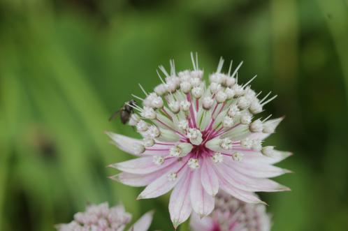Stor stjerneskærm, Astrantia major. Foto: Flickr