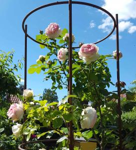 'Eden Rose' i Nina Ewalds og Georg messmanns have. Foto Nina Ewald