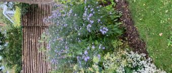 diverse asters