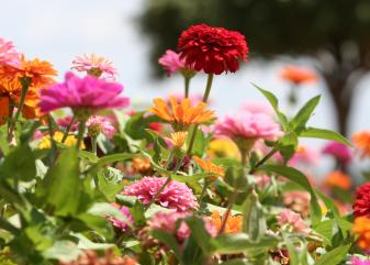 Zinnia. Foto: Flickr.
