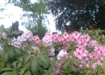 Rododendron i blomst 22. maj 2015
