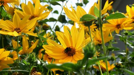Heliopsis 'Summer Nights'. Foto: Wikimedia