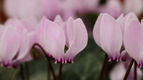 Cyclamen cilicium. Foto: Flickr / Martin Hesketh.