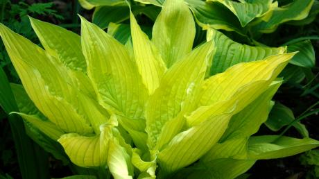 Hosta 'White Feather'. Foto: Kirsten Lyng.
