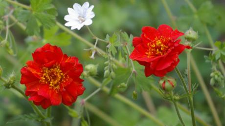 Geum 'Mrs. Bradshaw*. Foto: Flickr