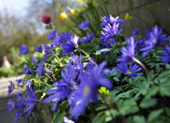 Anemone nemorosa. Foto: Flickr